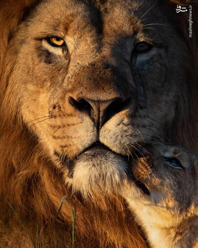 ابراز محبت توله شیر به پدرش
